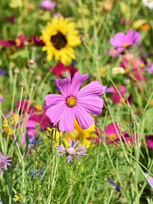 Bio - Blumensamen / Wildblumensamen
